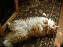 Red Maine Coon. Red fluffy Maine Coon cat upside down Royalty Free Stock Photo