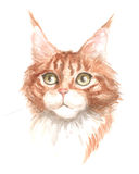 Red maine coon. Image of a thoroughbred maine coon cat. Watercolor painting Stock Photography