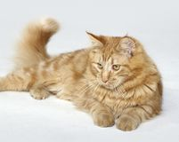 Red Maine Coon kitten Royalty Free Stock Photo