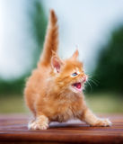 Red maine coon kitten hissing Royalty Free Stock Photos