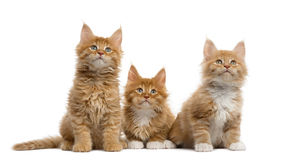 Red Maine coon kitten isolated on white Stock Images