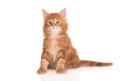 Red maine coon kitten sitting on white Royalty Free Stock Image