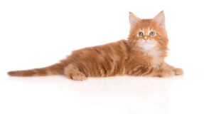 Red maine coon kitten on white Royalty Free Stock Photos
