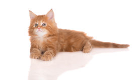 Red maine coon kitten on white Royalty Free Stock Image