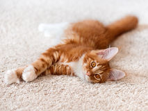 Red Maine Coon kitten on white background fur Royalty Free Stock Image
