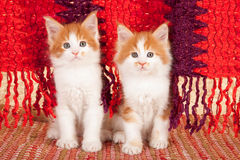 Red maine coon kittens. Pair of Maine Coon kittens sitting in front of a fringed red and purple blanket Royalty Free Stock Image