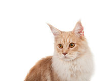 Red Maine coon portrait Stock Photo
