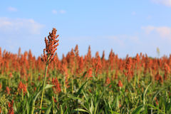 Red Maize Stock Photos