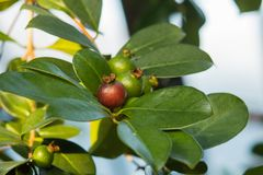 Red Malaysian Guava Psidium Guajava. A Tropical Fruit Growthand Ripening on Tree Branch stock images