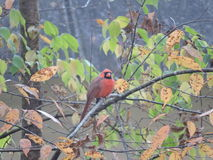 Red male cardinal. Red Cardinal among the fall leaves in a smoky Tennessee Stock Photo