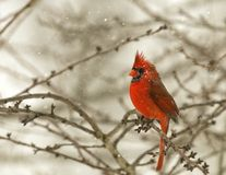 Red Male Cardinal in Snow Stock Photography
