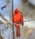 Red cardinal in a tree. Red male cardinal in a tree during winter stock image