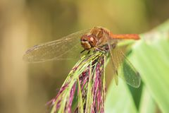 Red male Common Darter Sympetrum striolatum resting stock photos