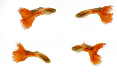 Red male guppy fish Stock Photos