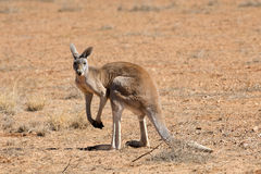 Red  male kangaroos Stock Photography