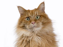 Red male Maine Coon cat portrait looking into the camera with green eyes Stock Photography