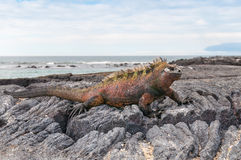 Red male marine Galapagos iguana Royalty Free Stock Image