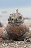 Red male marine Galapagos iguana Stock Image