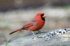 Red male Northern Cardinal bird eating seed, Athens GA, USA. Male red Northern Cardinal, Cardinalis cardinalis, songbird eating sunflower seed off a rock in stock photos