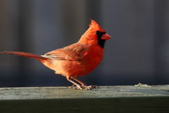 Red Male Northern Cardinal on the deck Stock Photo