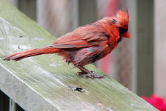 Red Male Northern Cardinal on the deck in the rain Royalty Free Stock Photography