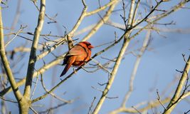 Red male Northern Cardinal songbird, Georgia, USA. Red male Northern Cardinal songbird perched in tree with blue sky in winter. A common North America passerine Royalty Free Stock Images