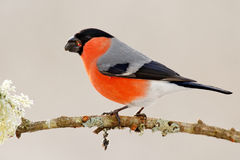 Red male songbird with green and yellow clear background, evening light. Bullfinch, Pyrrhula pyrrhula, sitting on yellow lichen br. Anch royalty free stock photos