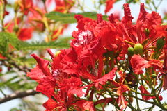 Red malinche. Green leaves,  long branches, tropical flowers, ornamental tree Stock Photo