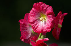 Red mallow Royalty Free Stock Photos