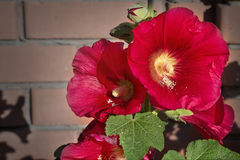 Red mallow Royalty Free Stock Image
