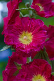 Red mallow Royalty Free Stock Photo