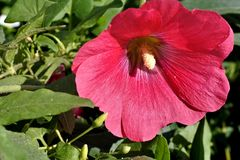 Red mallow flower. On green nature background Royalty Free Stock Images
