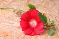 Red mallow flower on a wooden. Background Royalty Free Stock Image