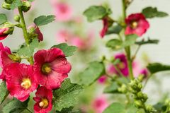 Red Mallow Flowers. Blooming mallow flowers of red color in the garden Royalty Free Stock Photography