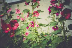 Red Mallow Flowers. Blooming mallow flowers of red color in the garden Stock Image