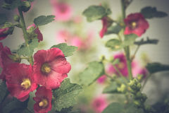 Red Mallow Flowers. Blooming mallow flowers of red color in the garden Stock Photos