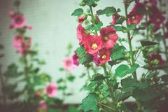 Red Mallow Flowers. Blooming mallow flowers of red color in the garden Royalty Free Stock Photo