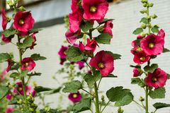 Red Mallow Flowers. Blooming mallow flowers of red color in the garden Royalty Free Stock Image