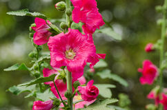 Red mallow flowers blooming in summer Royalty Free Stock Photos