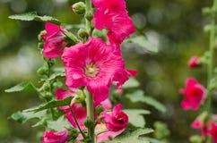Red mallow flowers blooming in summer. Season at the garden background, Mu Gung Hwa (mugunghwa) or Rose of Sharon Royalty Free Stock Photos