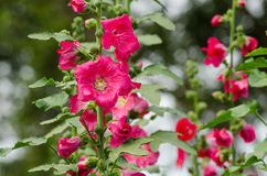Red mallow flowers blooming in summer Stock Photos
