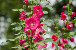 Red mallow flowers blooming in summer Royalty Free Stock Images