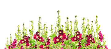 Red mallow flowers floral banner, panorama isolated Royalty Free Stock Images