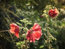 Red mallow flowers. Summer in village. Vintage card on old paper. Retro Royalty Free Stock Photo
