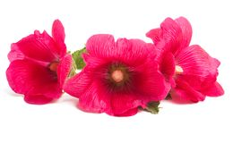 Red mallow isolated. On white background Stock Photography