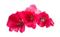 Red mallow isolated. On white background Royalty Free Stock Photography