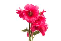 Red mallow isolated. On white background Stock Photo