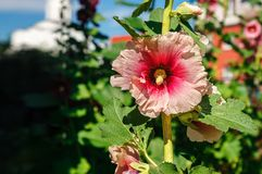 Red mallows in the garden. Bright red mallows in the garden on sunny summer day Stock Photography