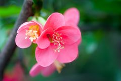 Red malus spectabilis flower - chinese crabapple. Red malus spectabilis flower also know as chinese crabapple in springtime, Chengdu, China Royalty Free Stock Photos