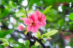 Red malus spectabilis flower - chinese crabapple. Red malus spectabilis flower also know as chinese crabapple in springtime, Chengdu, China Royalty Free Stock Photography